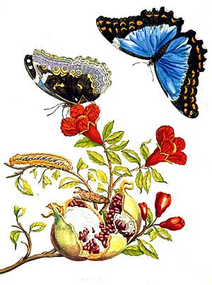 m sybilla merian butterflies insecten metamorphose Google doodle vandaag Maria Sibylla Merian