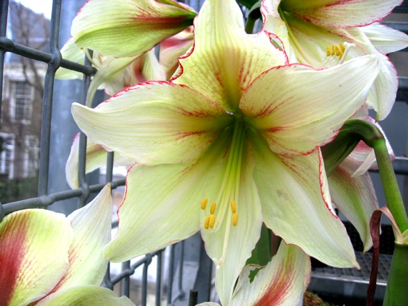 magic green Amaryllis/ Hippeastrum in de Leidse Hortus