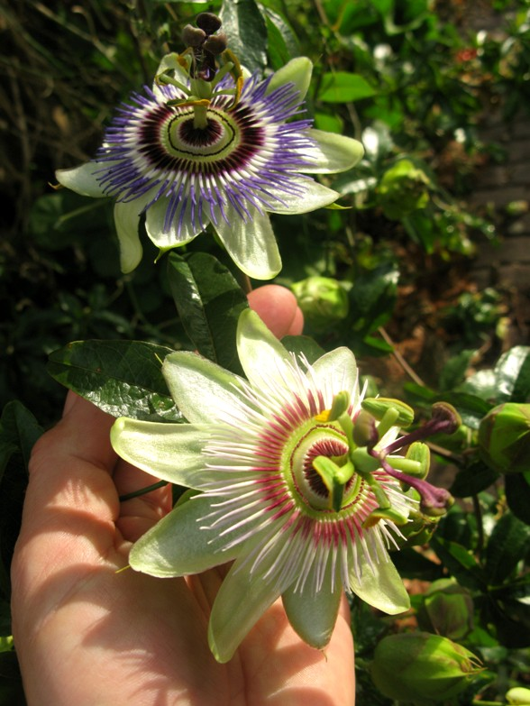 passion flowers different colors Gemuteerde passiebloem en passiebloem met slang